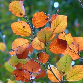 Autumnal colouring in beech leaves