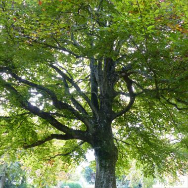 Looking up into the canopy of a large beech tree