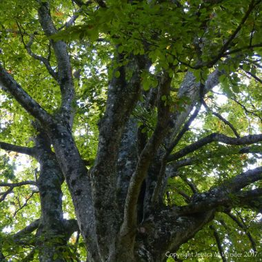 Looking up into the branches of an old beech tree