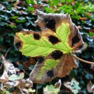 Fallen autumn leaf with black spots