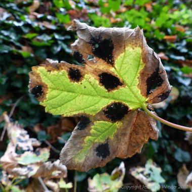Fallen autumn leaf with black spots