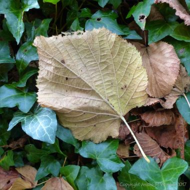 Dead leaf upside down lying on green ivy