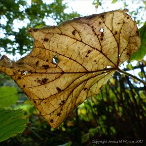 Dead leaf still attached to the tree viewed from underside