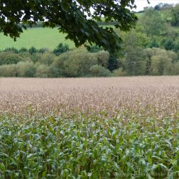 Field of maize ready for harvesting