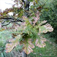 Leaves changing colour on a young oak tree in autumn