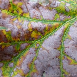 Detail of leaf pattern of changing colour in an autumnal oak leaf