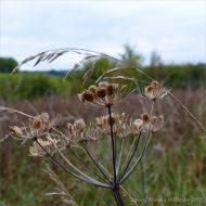 Dried seed heads in the autumn meadow