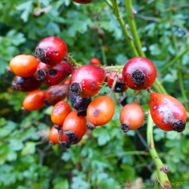 Red rosehips on the bush