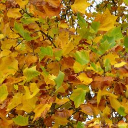 Leaves of the Tulip Tree in October