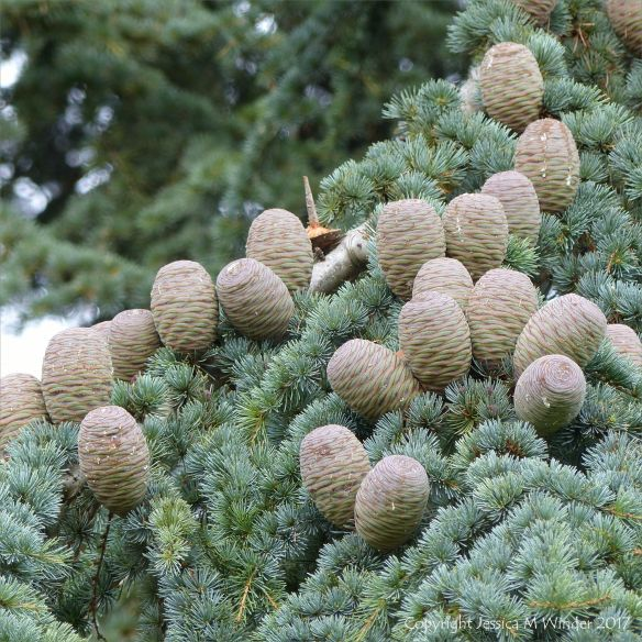 Cones and pine needles on the Atlas Cedar tree