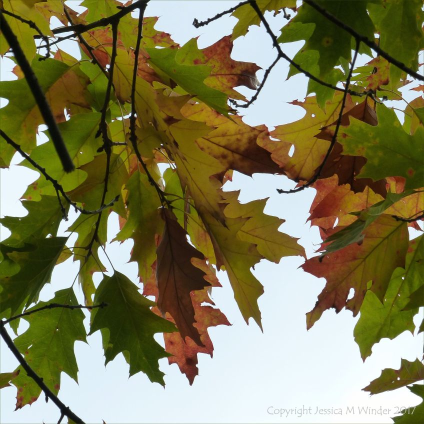 Leaves changing colour in autumn on the Red Oak tree
