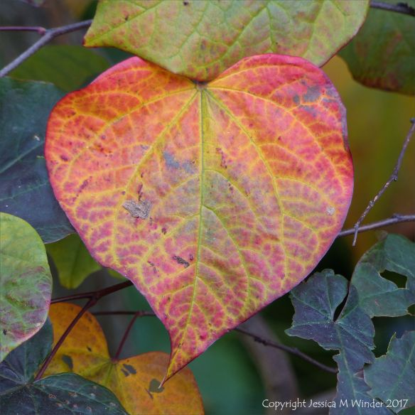 Heart-shaped leaf changing to autumn colours