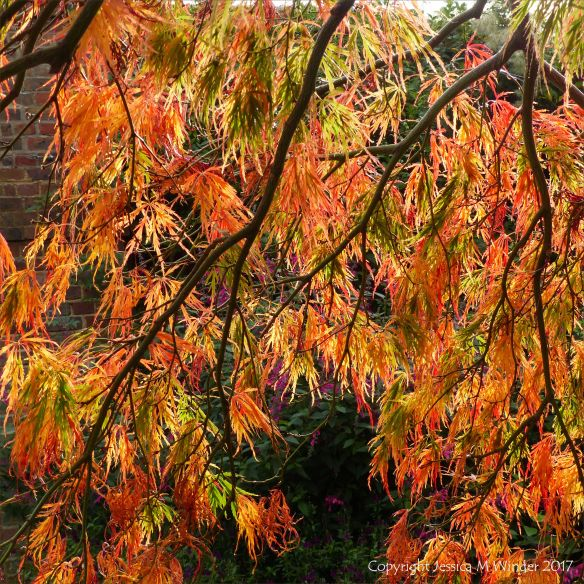 Leaves changing to autumn colours on a Japanese Maple in Kew Gardens