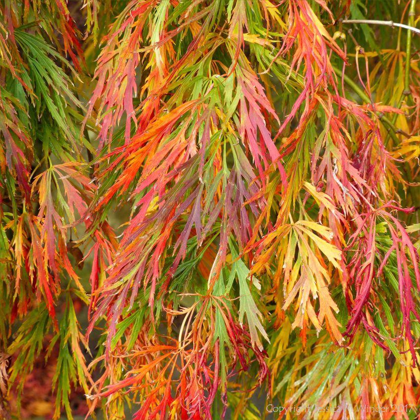 """Autumn leaves on Japanese Maple (Acer palmatum """"Dissectum Atropurpureum) at Kew Gardens"""