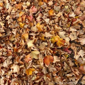 Dead leaves of the Maple (Acer obtusatum) on the ground at Kew Gardens