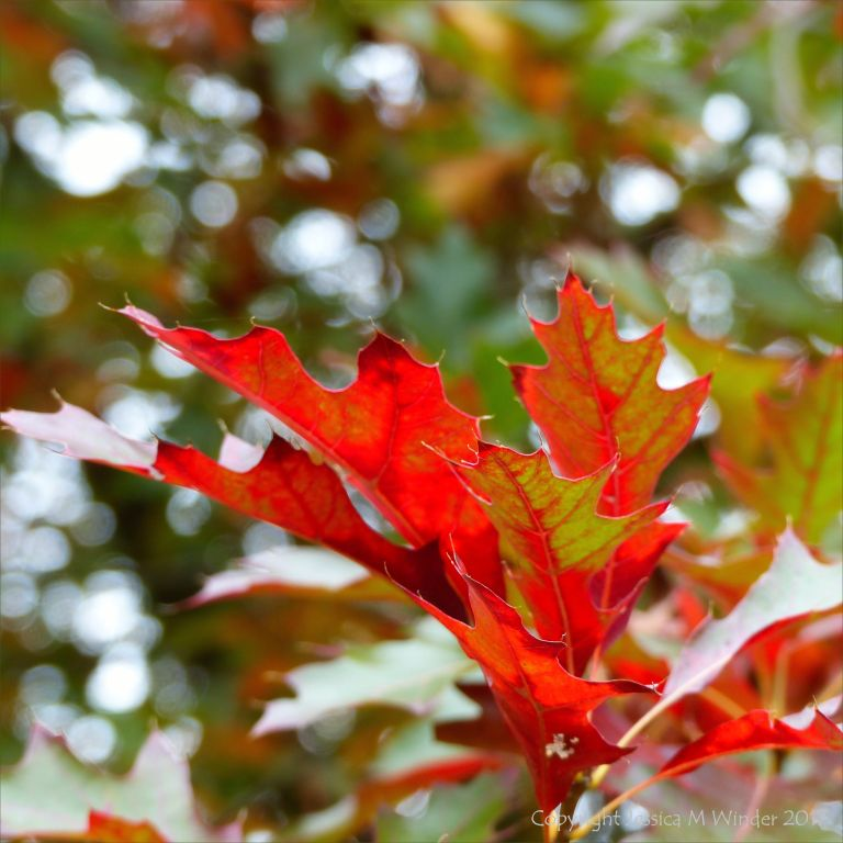 Leaves of Scarlet Oak (Quercus coccinea) in October at Kew