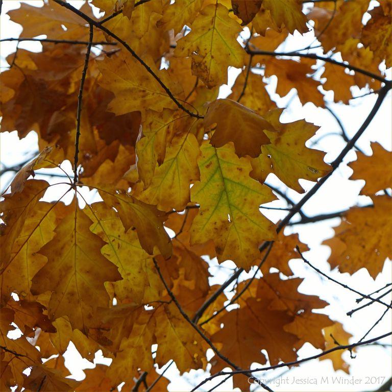 Red Oak leaves in autumn