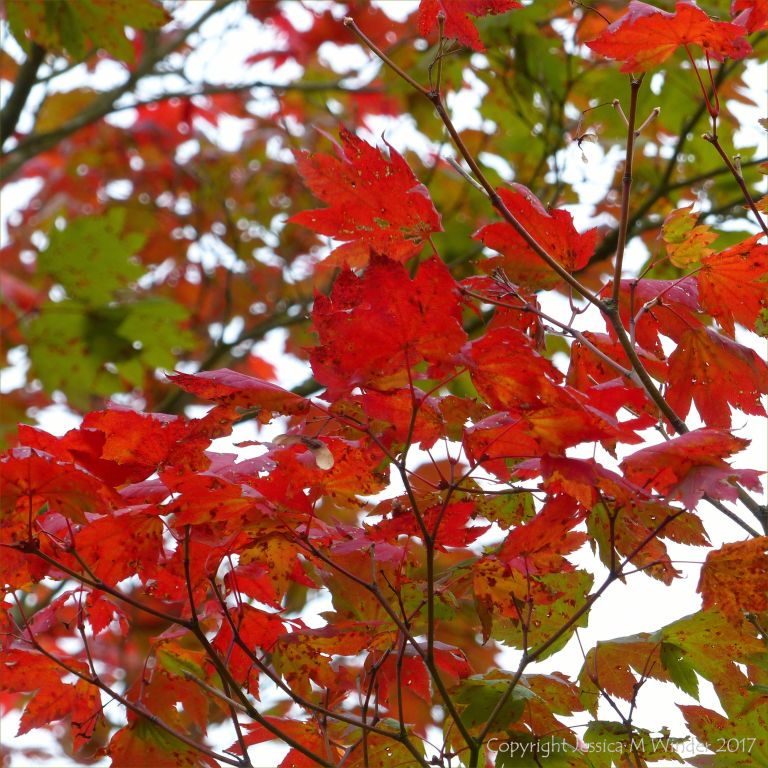 Japanese Maple leaves in autumn at Kew Gardens
