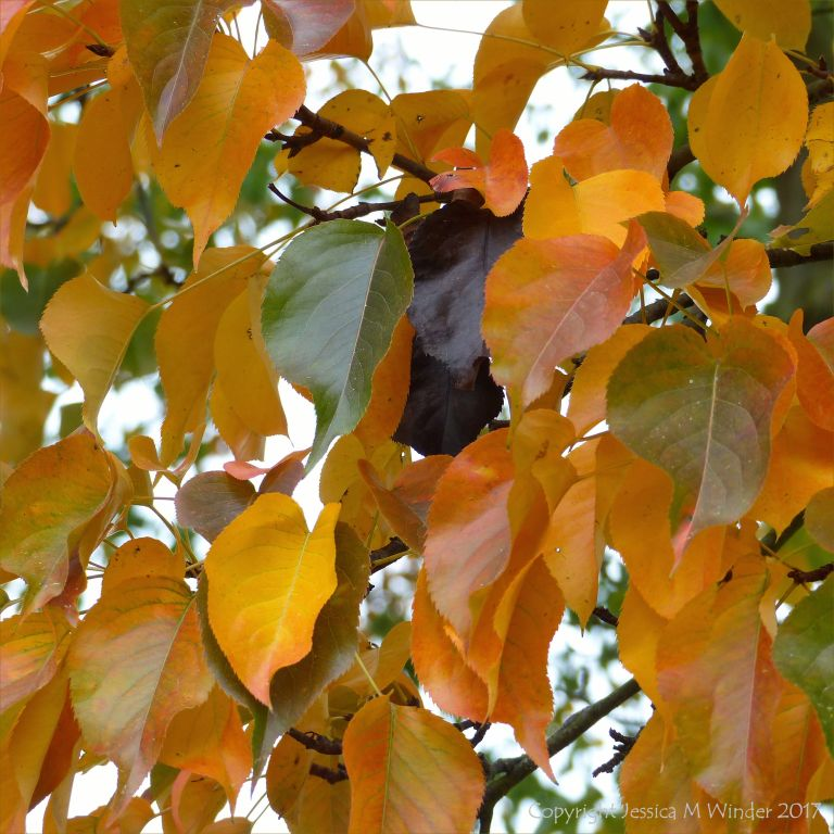 Autumn leaves of the tree Pyrus bretschneideri at Kew Gardens