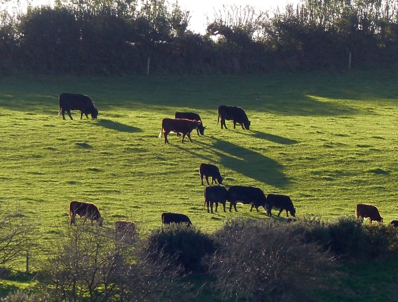 Strong light contrasts in the autumn countryside with hillside grazing cattle casting long shadows