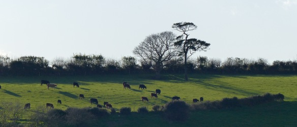 Strong light contrasts in the autumn countryside with sihouetted trees and cattle with long shadows