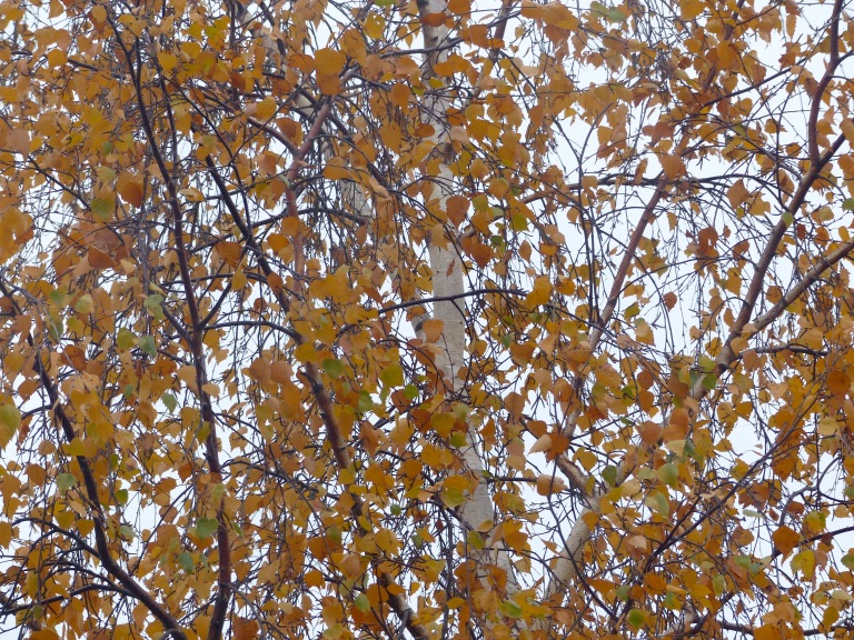 Dying leaves on a silver birch tree