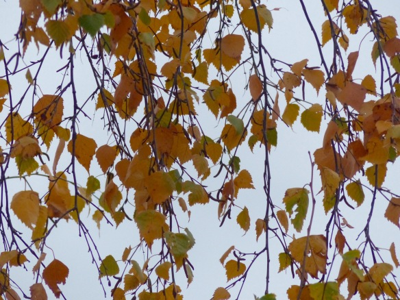 Silver birch leaves on the tree in late November