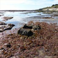 Seaweed on the rock platform below the sea wall at Lyme Regis