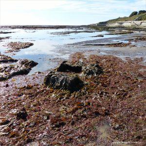 Seaweed on the rock platform below the sea wall at Lyme Regis