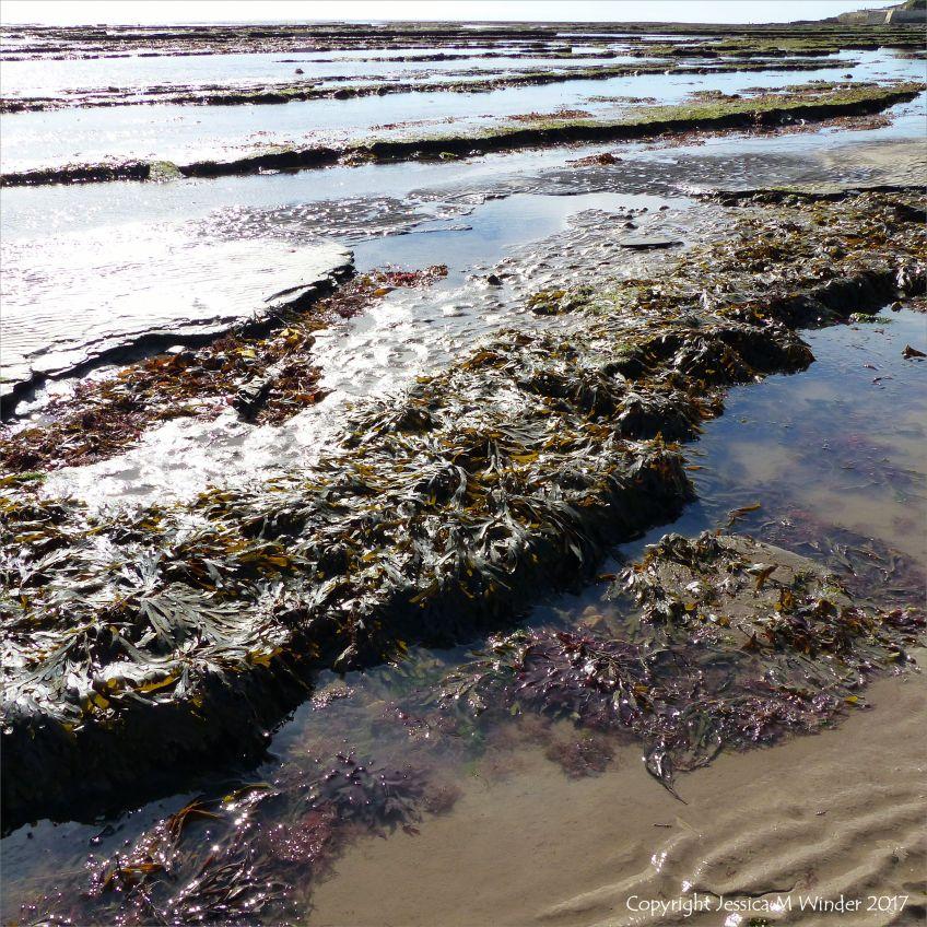 Seaweed growing on limestone rock platforms below the new sea wall at Lyme Regis in Dorset, England.