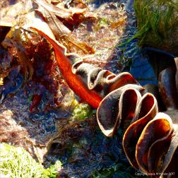 Stipe of Furbelows kelp seaweed