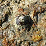 Limpet living on the old concrete footing of a demolished breakwater
