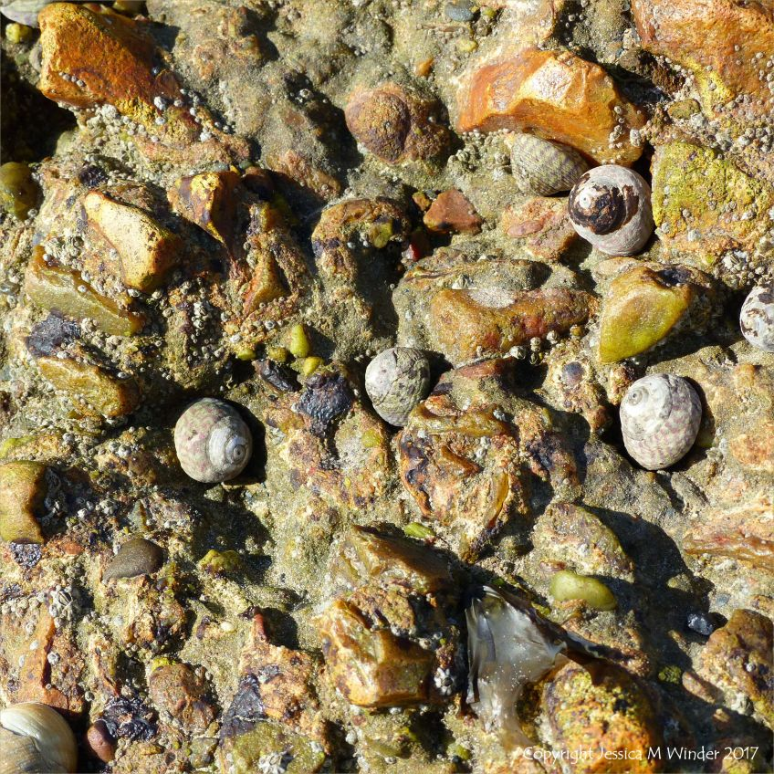 Top Shell gastropods grazing on reinforced concrete