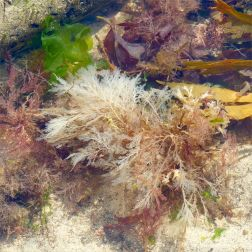 Bleached white dead seaweed in a tidal pool