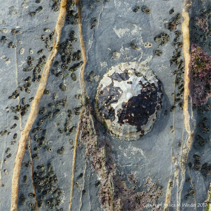 Limpet on veined limestone riddled with holes made by burrowing worms