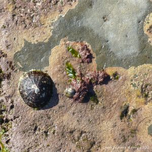 Limestone with coating of Pink Paint calcareous seaweed and grazing marine molluscs