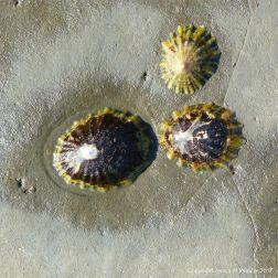 Three common limpets living on Blue Lias limestone