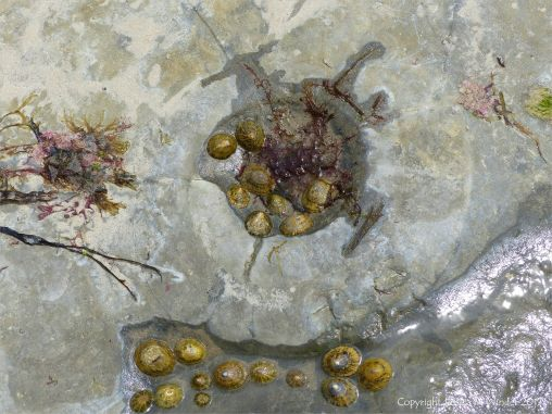 Worn ammonite fossil filled with living limpets in a limestone pavement at Lyme Regis