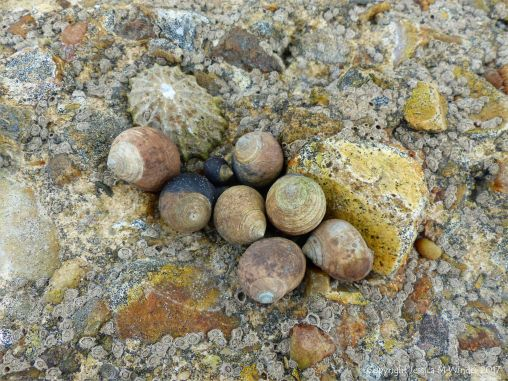 Limpets, winkles, and barnacles living on concrete footings remaining on the beach after the removal of the breakwaters