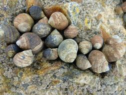 Winkles living on seashore concrete