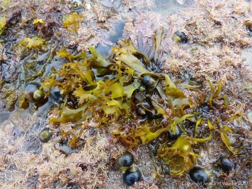 Seaweed and winkles growing on a natural limestone pavement