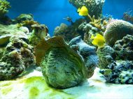 Giant clam and other tropical marine invertebrates with yellow fish