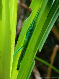 Peppermint Stick Insect (Megacrania batesii)
