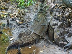 Mangrove buttress roots (Looking Glass Mangrove) at Cape Tribulation
