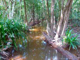 Freshwater swamp seen from the Dubuji Boardwalk at Cape Tribulation, Queensland, Australia.