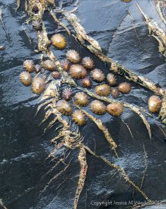 Limpets on Cornish slate with veins