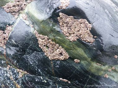 Detail of of hornblende schist at Polurrian Cove in Cornwall with clusters of acorn barnacles