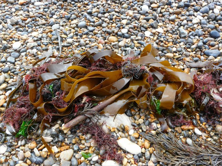 Seaweeds washed up on pebbles