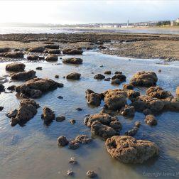 Honeycomb worm reefs in Swansea Bay
