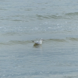 Sea bird on the water